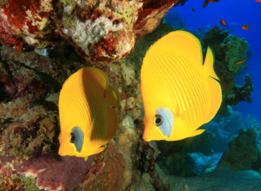 Butterfly fishes at Abu Helal Dahab Dive Site