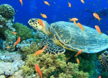 Turtle at Gabr El Bint, Dahab Boat trip