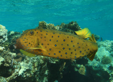 Boxfish at Golden Blocks Dahab Dive Site