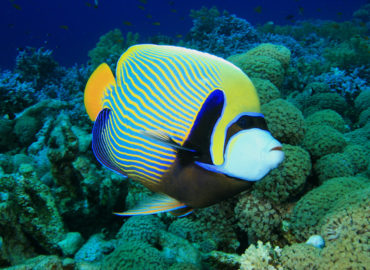 Emperor fish at Southern Oasis, Dahab
